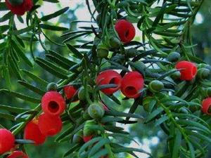 """略阳有棵""""植物大熊猫""""红豆杉"""