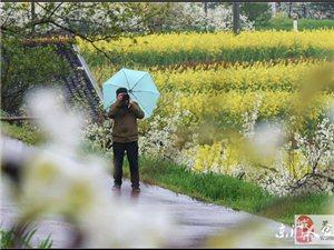 【苍溪】西溪梨花春带雨【图】