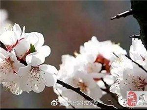 与三原嵯峨约一场杏花微雨