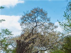 黑龙滩这小山沟竟藏了个粉白的春天  这些桐花估计仁寿很多人没看过