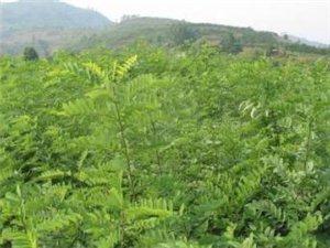 大量刺槐树苗低价出售  15165972109