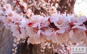 金塔镇第三届杏花文化艺术节