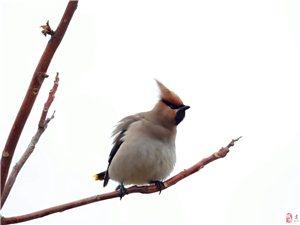 第一次拍太平鸟