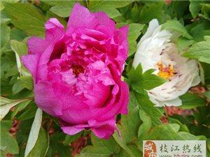 上海辰山植物园的牡丹