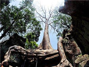 柬埔寨古迹――塔普伦寺,百年古树缠绕着石材,现出爱恨纠缠之历史奇观