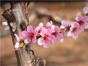 通许牌路林场桃花节