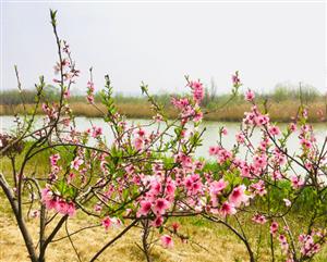 合阳处女泉的芦苇与花香,这一波最新的春光美景图带你走