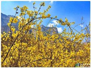 3月31日春潮花海醉关山满山连翘迎春开一天自驾自游行