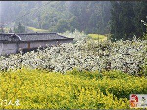 【苍溪】三月菜花雨中情【图】