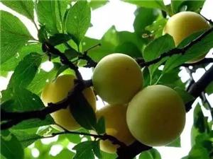 揭西的这种果子快成熟了,看到都流口水!