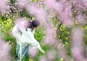 巴中【西龛山桃花】