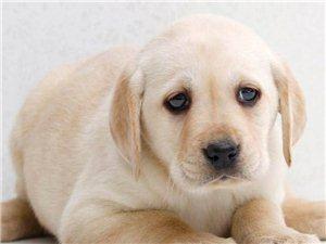 �仨���的拉布拉多幼犬