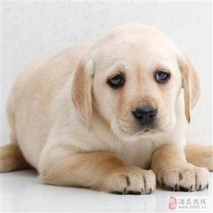 温顺听话的拉布拉多幼犬