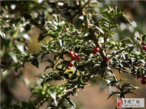 有种灌木全身都是宝,在农村到处都是,叶子上长得都是刺