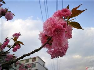 潺潺黛水,烂漫樱花