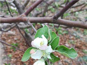苹果花长这样!也太美了吧~