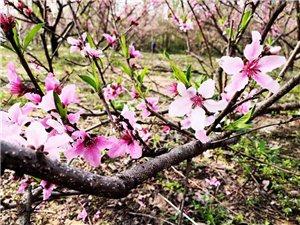 临泉桃花盛会!太美了~