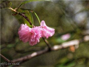 姹紫嫣红又一春,彭州樱花正当时!想看花花的就赶紧去哦(组图)