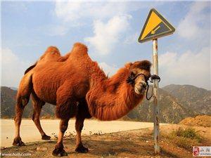 愤怒的骆驼/程玉宇