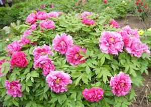 免费两天,去华东最大的国花园看300万株牡丹齐盛放!