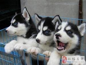 纯种萌宠二哈,三火蓝眼 双蓝眼哈士奇幼犬