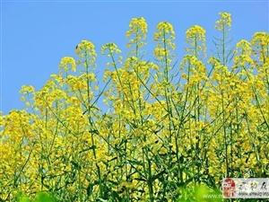 【绿野书院】四月武功油菜香,无需流浪去远方――韩静