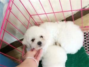 萌萌�}比熊����找新家 �A�比熊幼犬小型犬大眼睛
