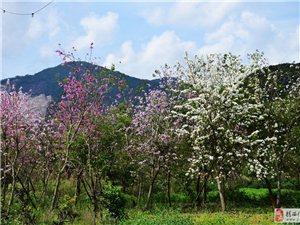 坪上东南村的紫荆花盛开了,非常漂亮