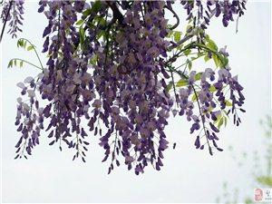 清明雨下紫藤开