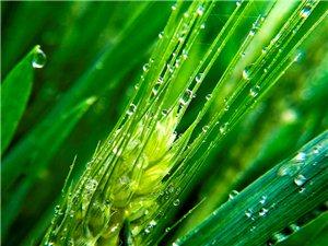 手机微距新章――雨后麦苗