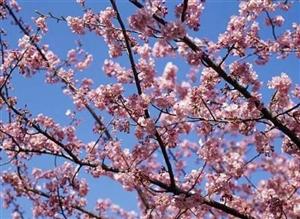 太和这个地方的樱花美的不像话 关键还不要门票!你说气人不!