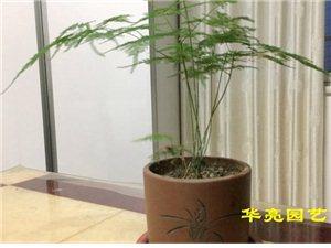 春天的脚步,离不开文竹的陪伴-广汉华亮园艺实景拍摄室内摆放植物