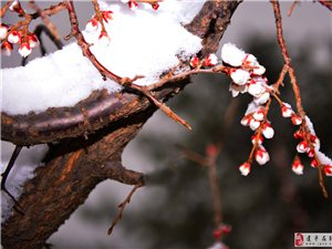 《杏花傲雪斗酷寒》