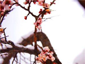 《杏花傲雪斗严寒》