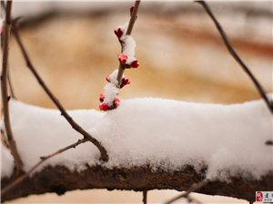 《杏花珺珺爱霜雪》