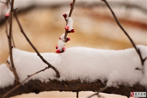 《杏花�B�B爱霜雪》