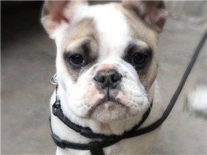 寻狗启示此狗名为小河于四月八日晚八点四十左右在威尼斯人线上平台前进西路黄山浴池旁丢失身上还拴着狗绳希望好心人看