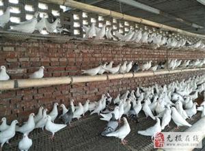买种鸽、乳鸽、鸽子蛋、商品鸽蛋,首选石?#26131;?#21315;翼飞养殖有限公司