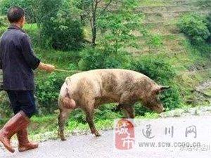 遂川农村传承千年传统手艺或将消失!牵猪牯、弹棉花……