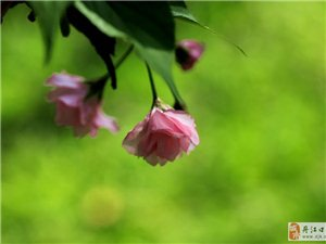 又见繁英放满枝,浅浅匀红锦绣簇。