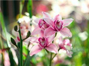 盛放中的兰花