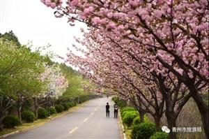 青州的春天太美了,随便一条小路就能惊艳你!