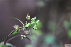 微距摄影――油菜花