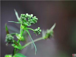 微距�z影――油菜花