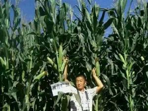 卖   高产玉米籽