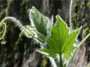 这种菜叶子能治胃痛、降血压、去结石!现在吃最好吃了!