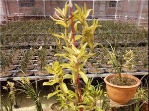 威尼斯人网上娱乐平台村民5.5万卖掉一盆兰花!