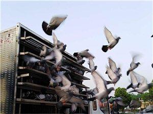 新濠天地赌博网站市信鸽春季四百公里比赛于4月15日下午5.30分开始集鸽!