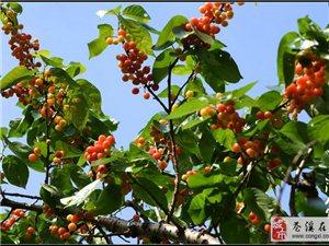 【苍溪】紫云村的樱桃红了!【图】