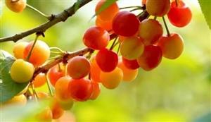 西乡樱桃进入黄金时期!